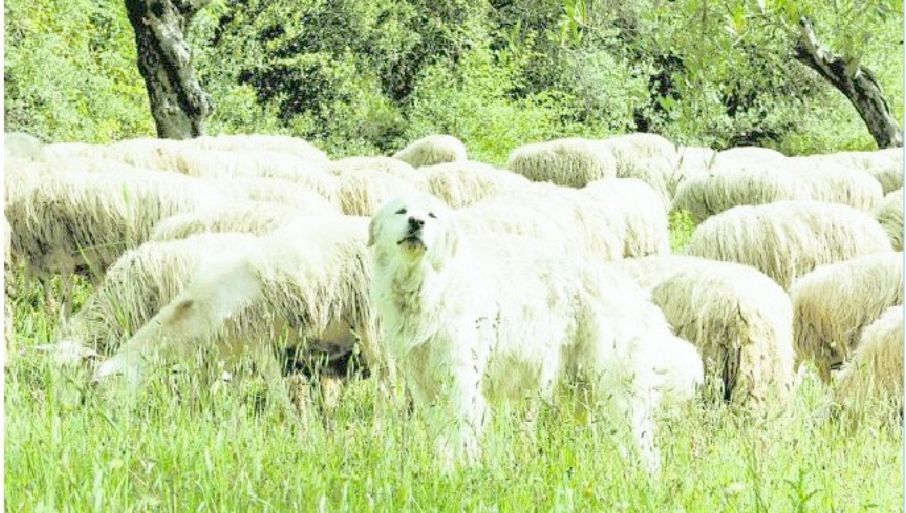 220404316 82061e46 473f 4a18 b938 5f97c30b0e45 - In memoria di Uno, il cane ucciso dai lupi per salvare il gregge