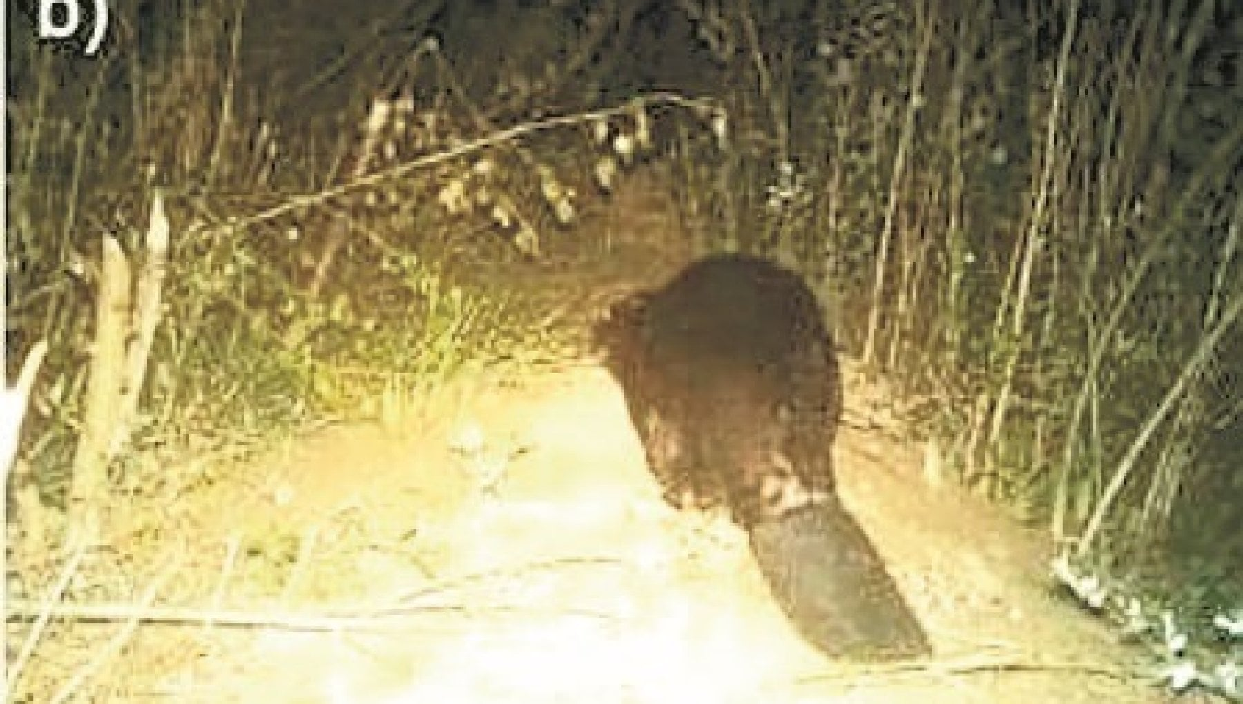 192439089 fbe969ad 2478 430d 98a4 35170754acb0 - Il castoro che ritorna nei boschi toscani dopo cinque secoli