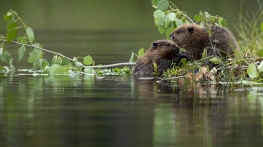 Il castoro che ritorna nei boschi toscani dopo cinque secoli