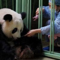 Diplomazia del panda, nascono due cuccioli in Francia grazie a una coppia di esemplari...