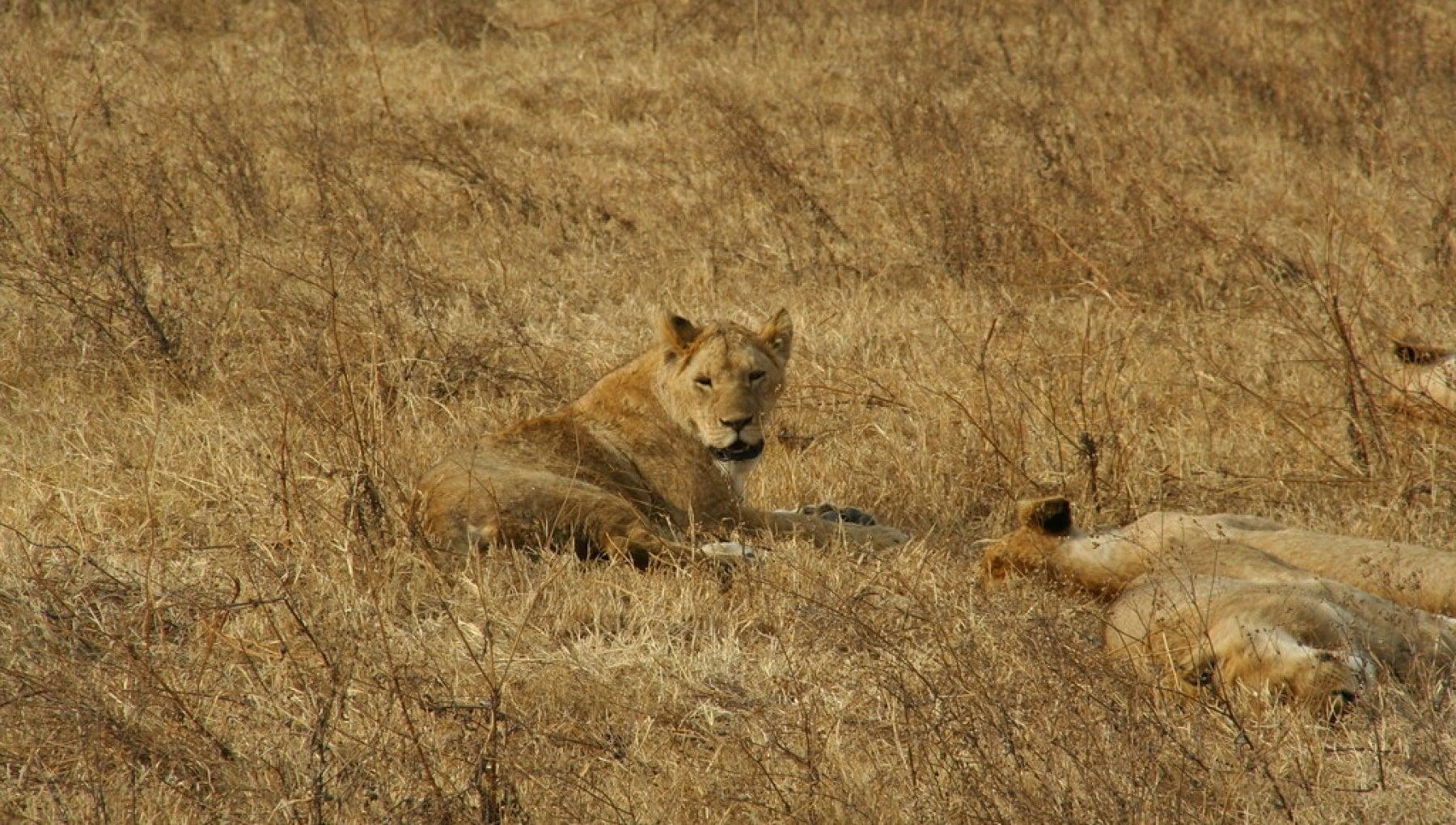 161318818 4fa55693 8fbb 489b 9463 ab91358979cb - Tre ragazzini uccisi in Tanzania dai leoni