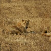 Tre ragazzini uccisi in Tanzania dai leoni