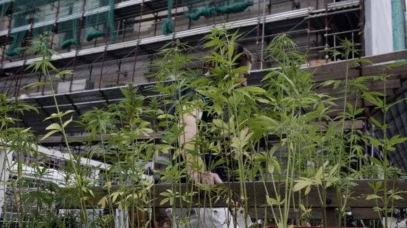 Il referendum sulla Cannabis raggiunge le 500 mila firme. Magi (+Europa): Un colpo al cuore del narcotraffico