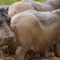 Colombia, cominciata la sterilizzazione degli ippopotami di Pablo Escobar