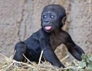 Jengo, il baby gorilla che commuove la Germania