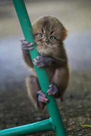 Quel gatto mi sembra un scimmia. O è il contrario?