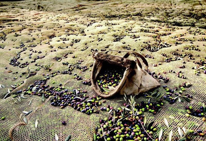 raccolta delle olive (Consorzio Garda DOP)