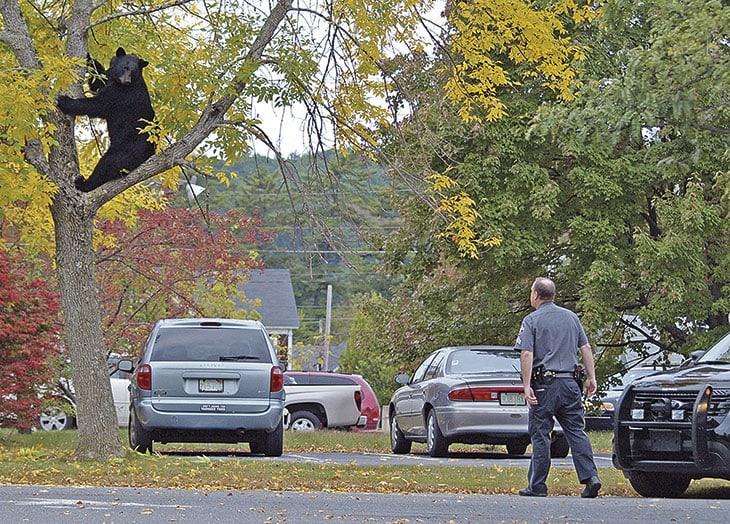 Un agentedi polizia sorveglia un orso brunonel centro di Athol, in Massachusetts.