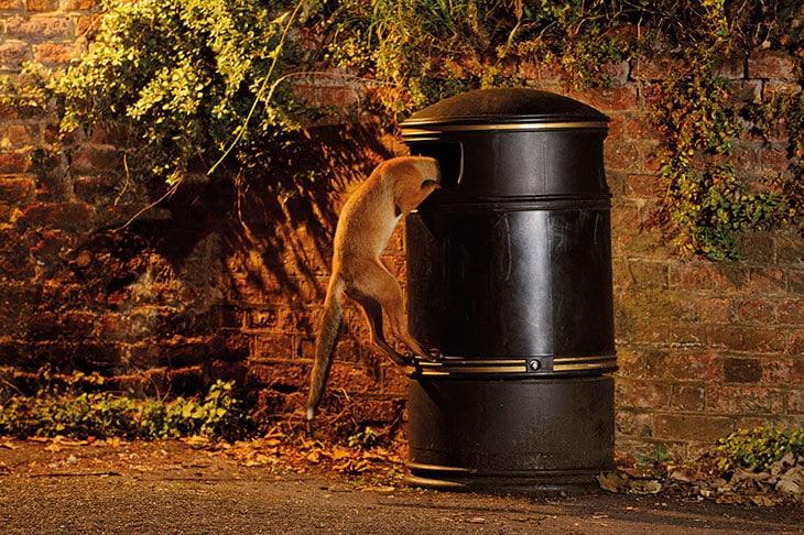 A Londra, una volpe rovista in un cestino.