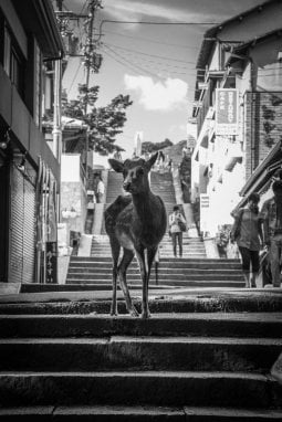 "Un cervo ""passeggia"" perle strade di Nara,in Giappone."