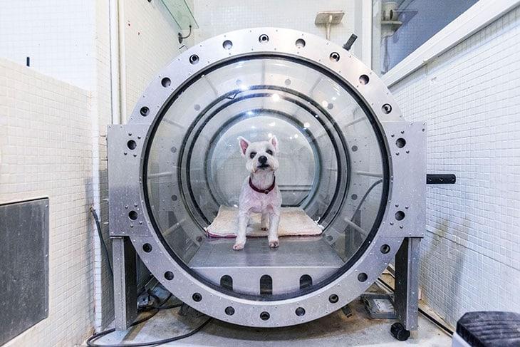 L'ossigenoterapia iperbarica del Petonia di Singapore, un Holistic Pet Wellness Centre.
