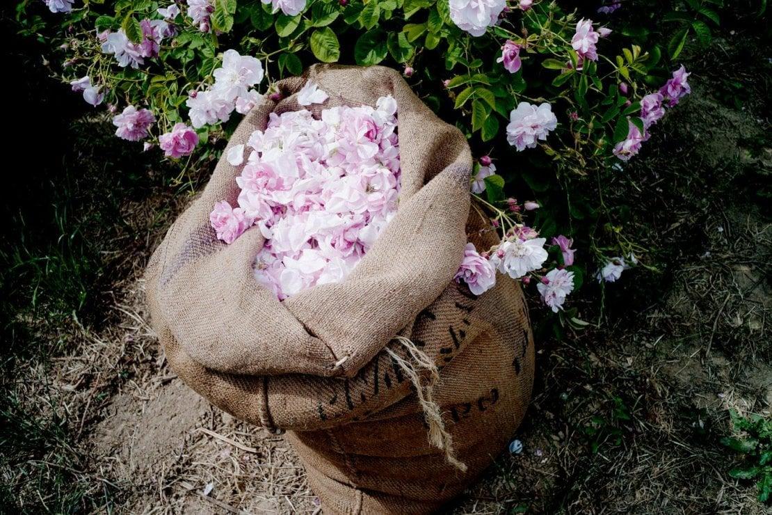 La Rosa di Maggio di Grasse