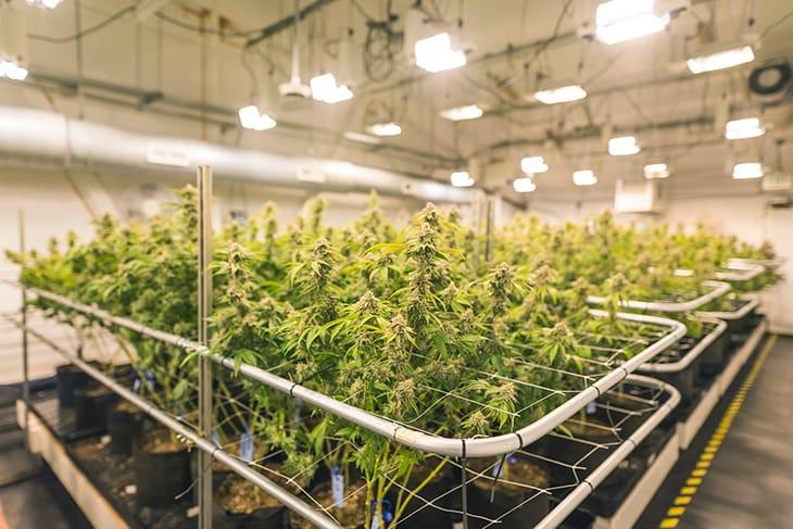 Chi ha paura della cannabis?