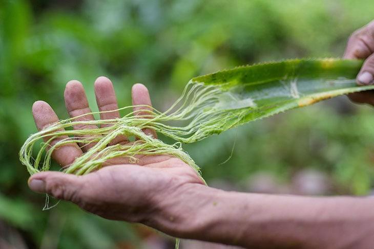Le fibre delle foglie di ananas da cui si produce il Piñatex® Photo courtesy of Piñatex®
