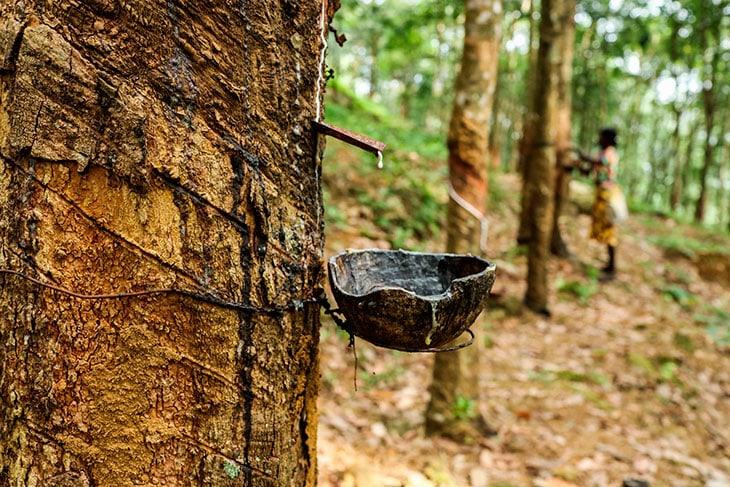 L'estrazione della gomma naturale alla base dello YulexPhoto courtesy: Patagonia