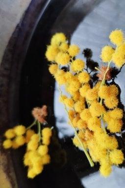 La mimosa nei pentoloni