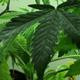 California: 'Legalizzate la marijuana'