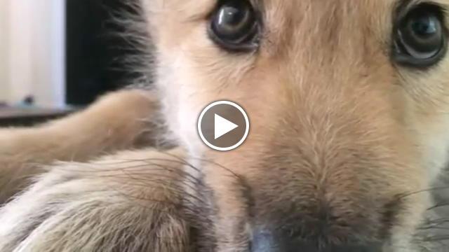 Cucciolo di lupo ha il singhiozzo il video virale for Disegni di lupi da stampare