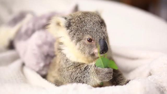 Foglie di eucaliptus come regalo il baby koala festeggia il suo primo  compleanno , Repubblica Tv , la Repubblica.it