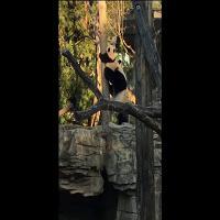 Washington: la prima arrampicata del panda Bei Bei
