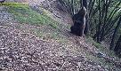 Trentino, gli orsi bruni e la loro passione per gli alberi-grattatoi