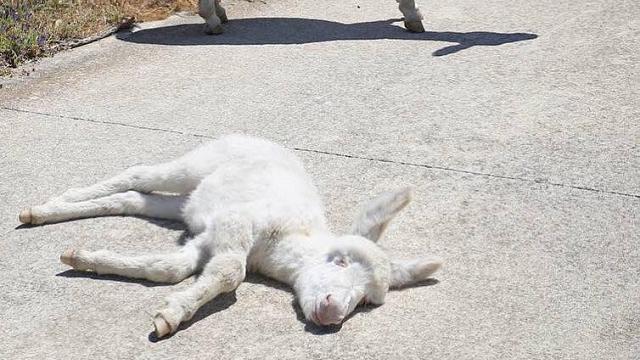 Il piccolo asinello bianco dell'Asinara fa conquiste sul web