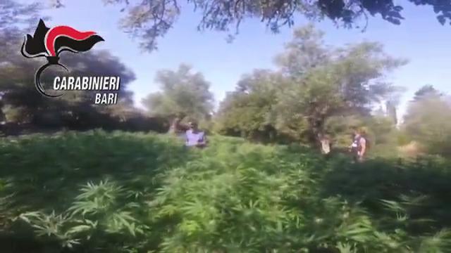 Bari, a ridosso del bosco spunta una piantagione di marijuana: cinque arresti