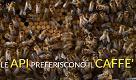 Operose ed efficienti ma con un vizio: anche le api bevono il caffè