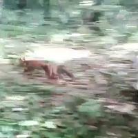 Caserta, la liberazione della volpe Nina