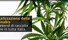 Legalizzazione cannabis, la raccolta firme e i numeri in parlamento