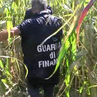 Brindisi, 236 piante di canapa nel campo di mais: denunciato il coltivatore