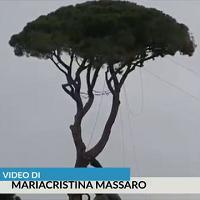 Roma, al via la potatura dei pini di Villa Medici: legna per per l'arte