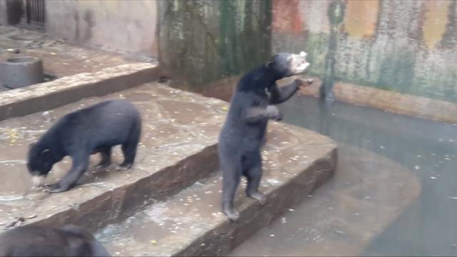 Indonesia, orsi denutriti chiedono cibo ai turisti: petizione online per chiudere le zoo