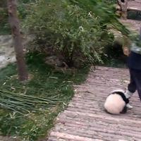Cina, lavorare è impossibile: il baby panda vuole giocare a tutti i costi
