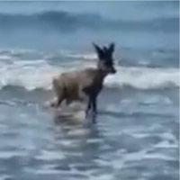 Il bagno in mare del capriolo a Castiglione della Pescaia: poi riposa in spiaggia