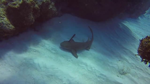 Lo squalo si lascia avvicinare dal sub che lo libera del coltello