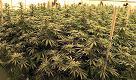 """Firenze, così i militari producono la cannabis di Stato: """"Arriveremo a 300kg l'anno"""""""