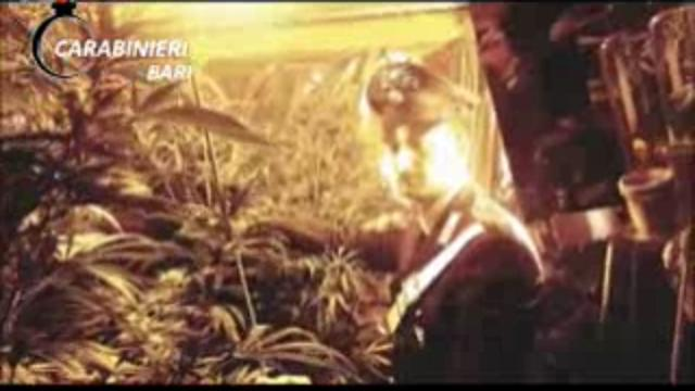 Bari, la serra in casa per coltivare marijuana: arrestato