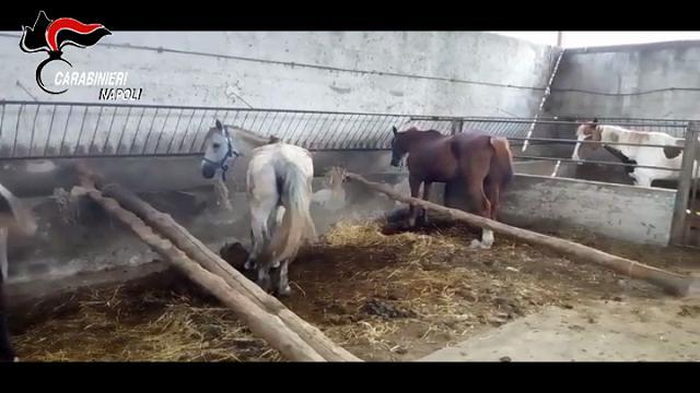 Striano, allevamento abusivo di Cavalli: animali malati e denutriti