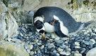 Il cucciolo di pinguino Papua all'Acquario di Genova