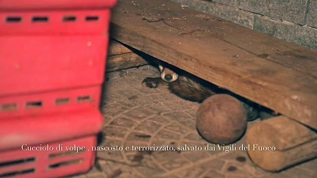 Ivrea, cucciolo di volpe salvato