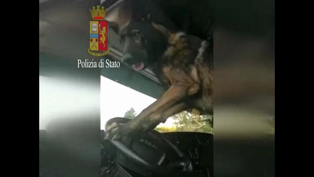Rimini, scova l'eroina e suona il clacson: il cane della polizia avvisa gli agenti