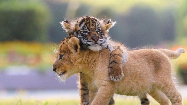 """Tinder, stop alle foto con le tigri: """"Gli animali selvaggi devono vivere liberi"""""""