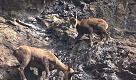 Bergamo, prova di equilibrio per i cuccioli di camoscio: in bilico sulla parete rocciosa