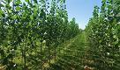 Terra dei fuochi, 18 mila pioppi in fabbrica per bonificare un terreno inquinato