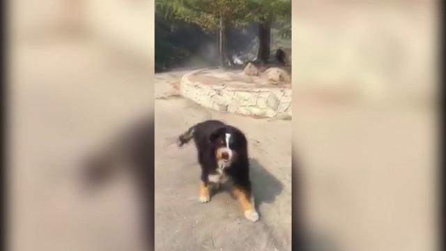 California, la sorpresa dopo la tragedia: famiglia ritrova il cane perso nell'incendio
