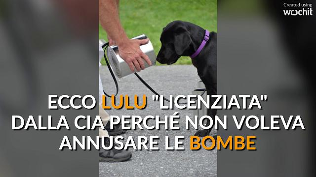 """Lulu, il cane """"licenziato"""" dalla CIA perché non vuole annusare le bombe"""