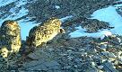 Leopardo delle nevi: tre esemplari 'catturati' dalla cam