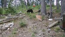 Russia, il gatto è intrepido: spaventa il cucciolo d'orso che fugge sull'albero