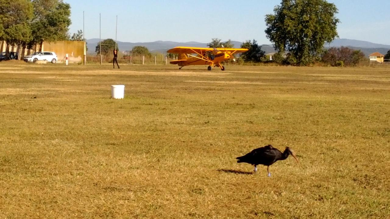 Scarlino un ibis fa colazione sulla pista di volo video for Mondo convenienza scarlino